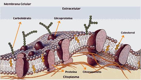 Estructura De La Membrana Modelo De Mosaico Fluido 1